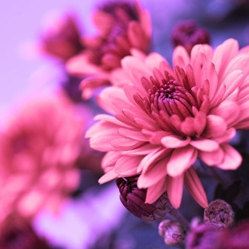 a picture of a close up of pink and purple flowers
